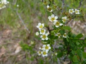 Bo_Spiraea hypericifolia subsp. obovata_P1040048
