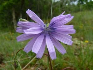 Pr_Lactuca perennis subsp. perennis_P1040144