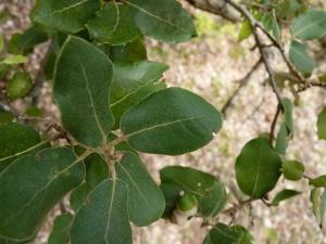 Pr_Quercus ilex_P1030591